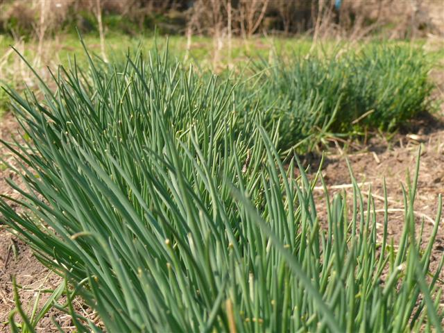 Chive plants in early spring