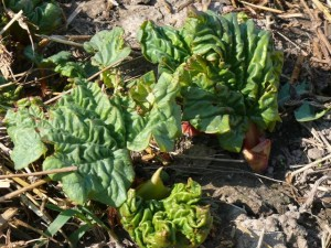 Rhubarb plants just coming out of the ground