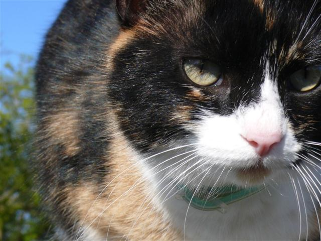 Close up of Lady V, our calico cat.