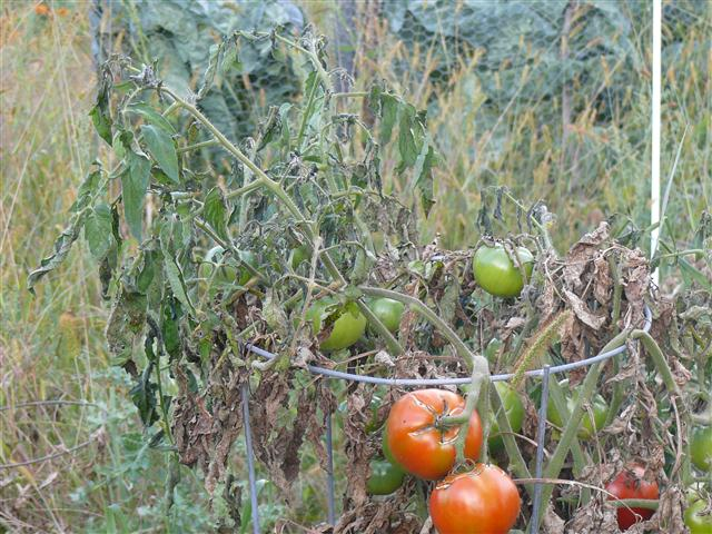 Tomato plant with frosted leaves.